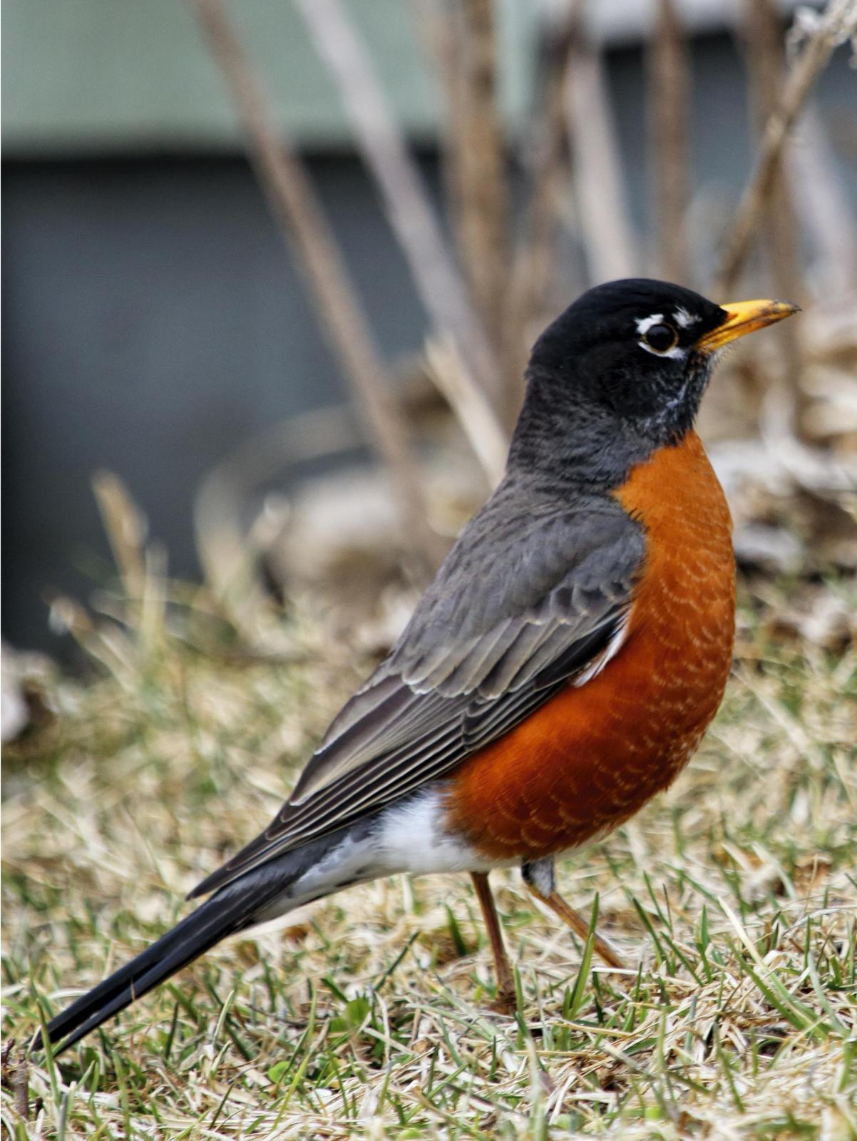 American Robin Photo by Dan Tallman