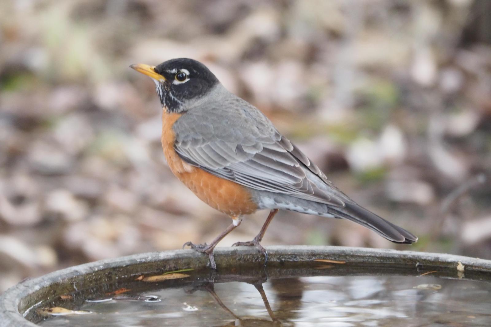 American Robin Photo by Colin Hill
