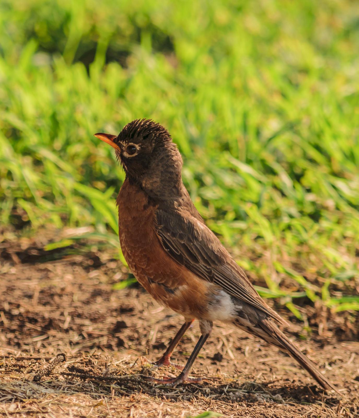 American Robin Photo by Keshava Mysore