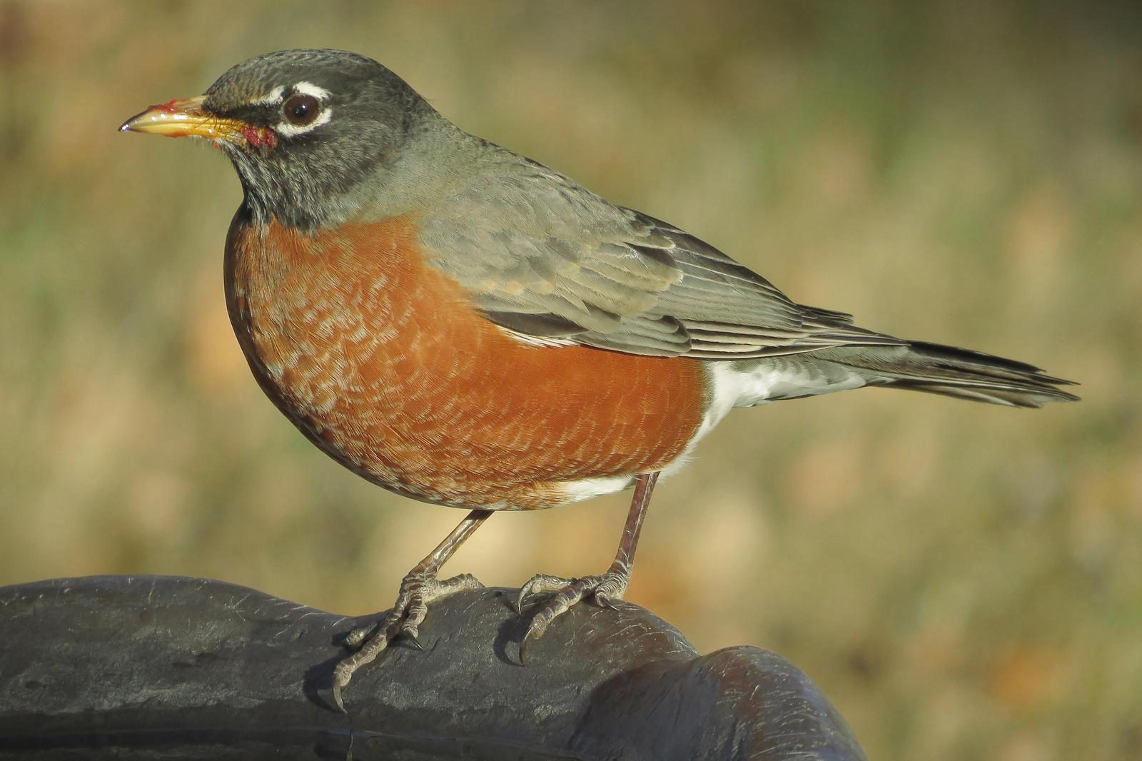 American Robin Photo by Bob Neugebauer