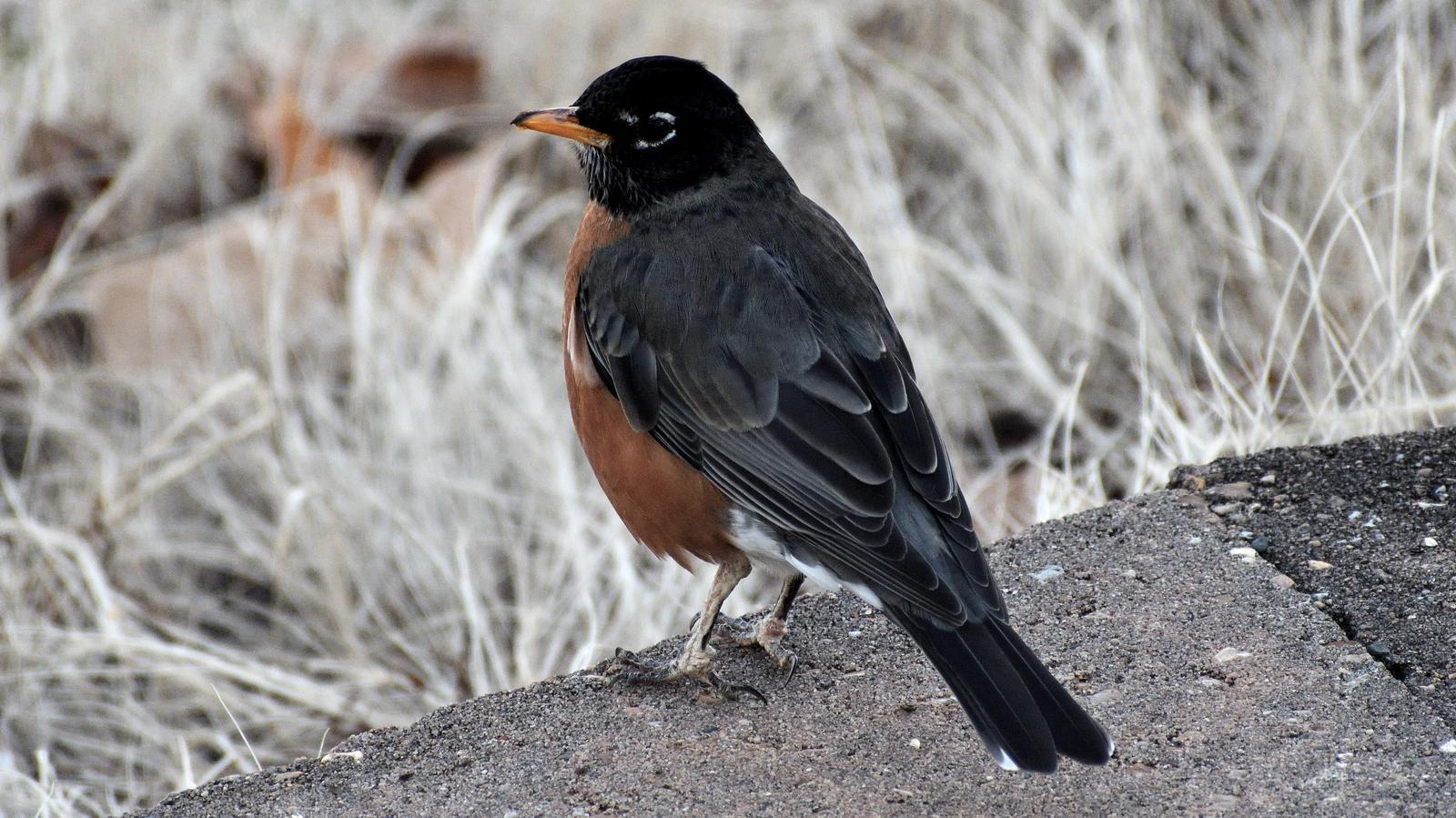 American Robin Photo by RM Beck