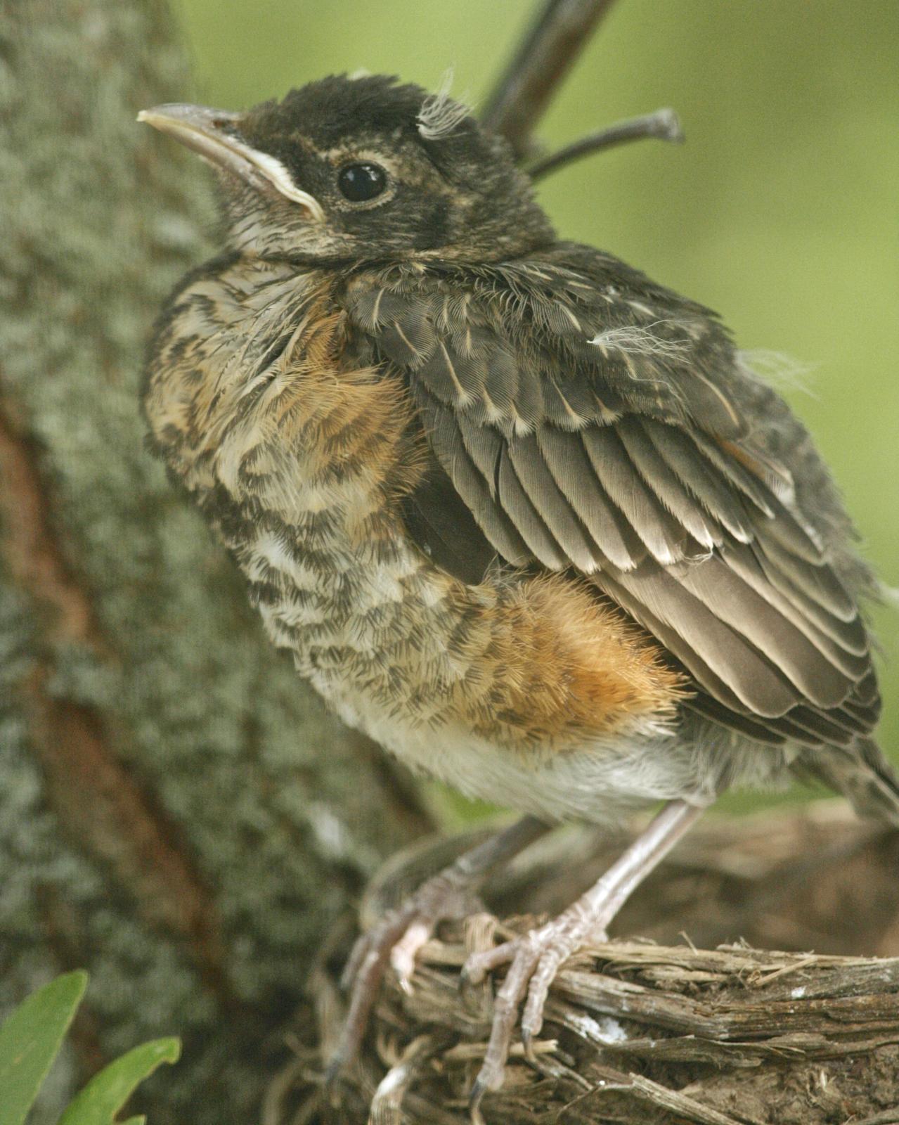 American Robin Photo by Oscar Johnson