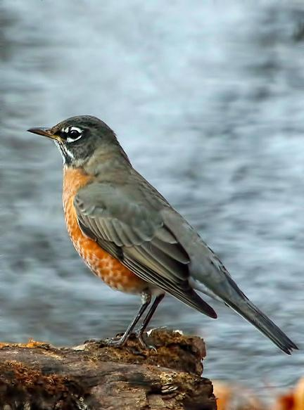 American Robin Photo by Dan Tallman