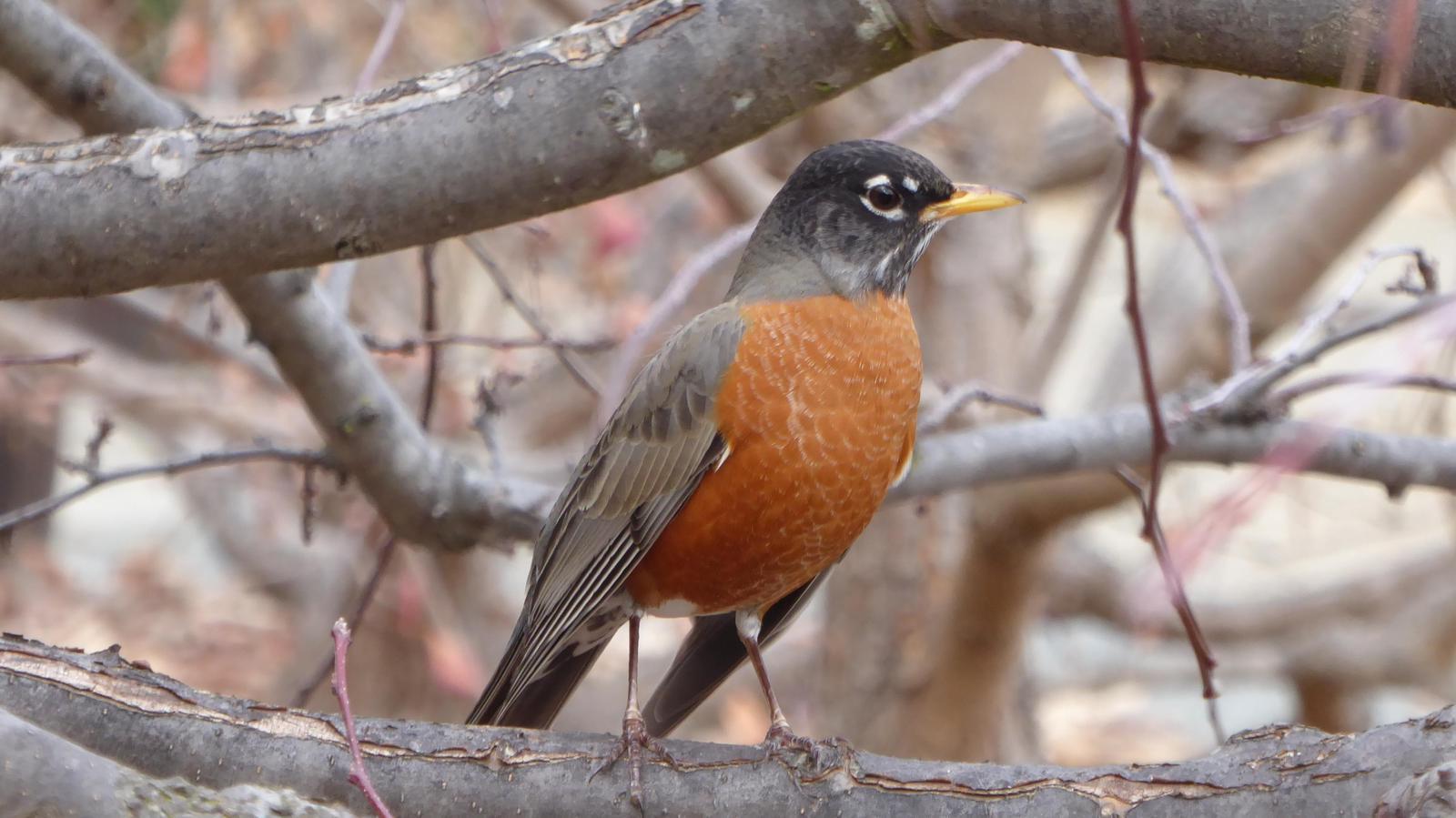 American Robin (Western) Photo by Daliel Leite