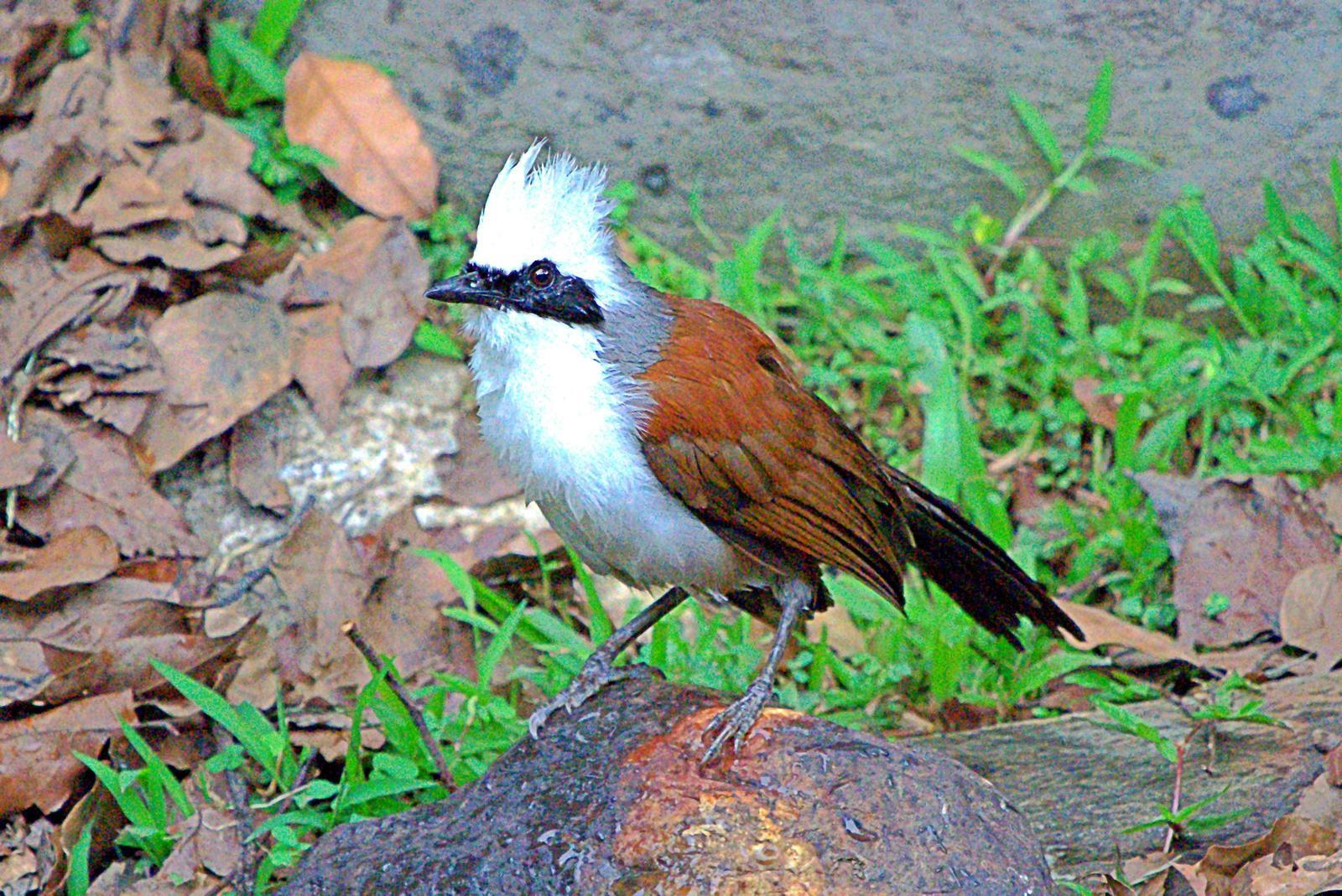 White-crested Laughingthrush Photo by Steven Cheong