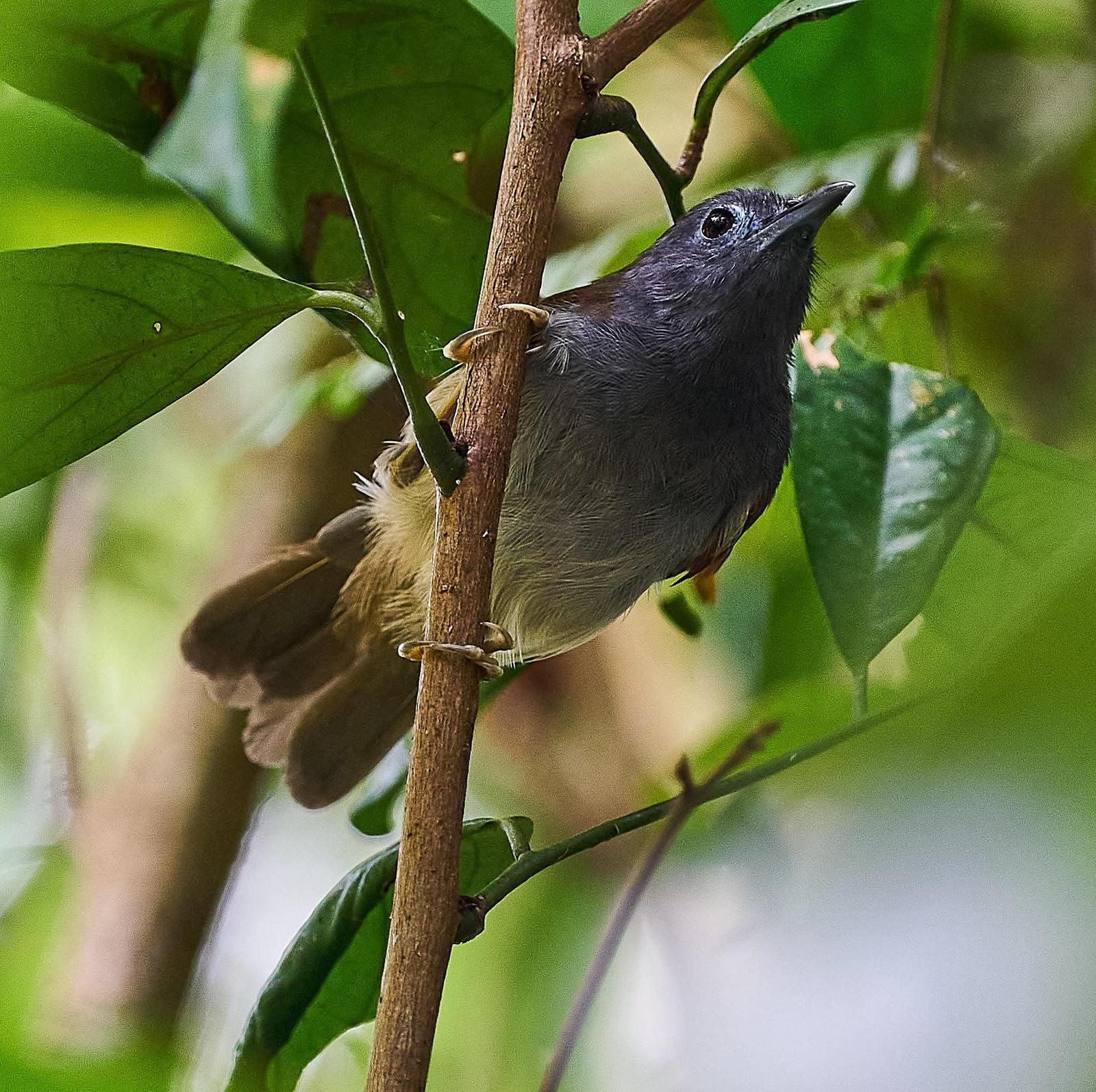 Chestnut-winged Babbler Photo by Steven Cheong