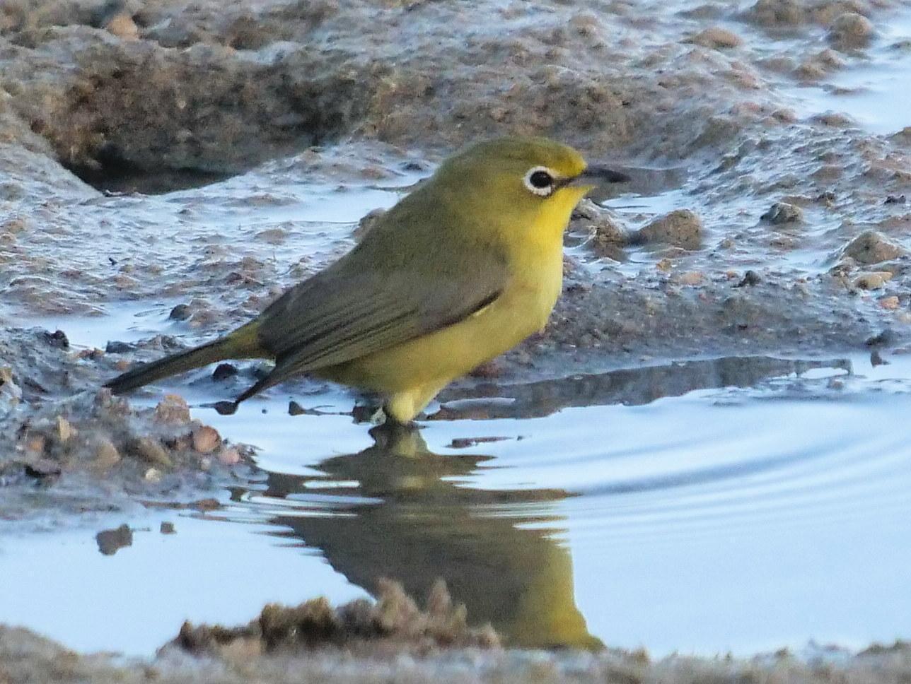 Australian Yellow White-eye Photo by Peter Lowe