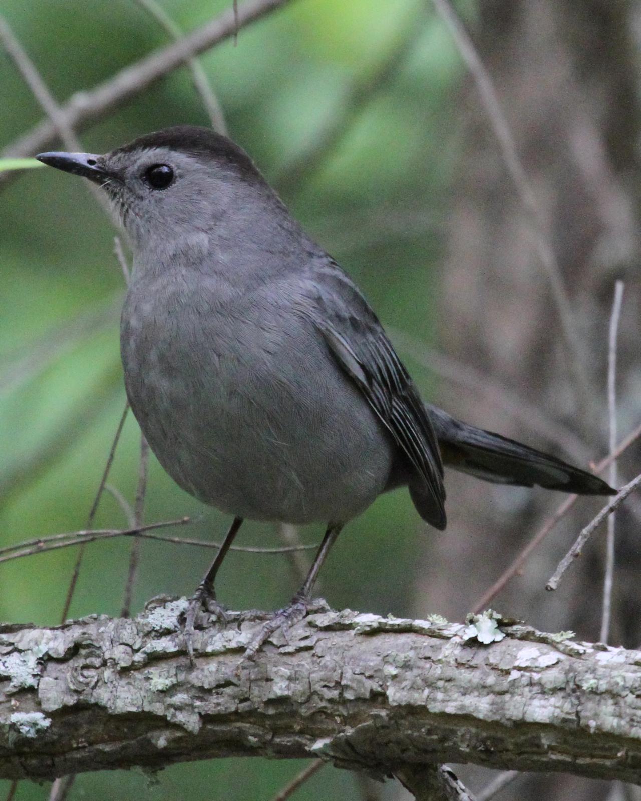 Gray Catbird Photo by Kent Fiala