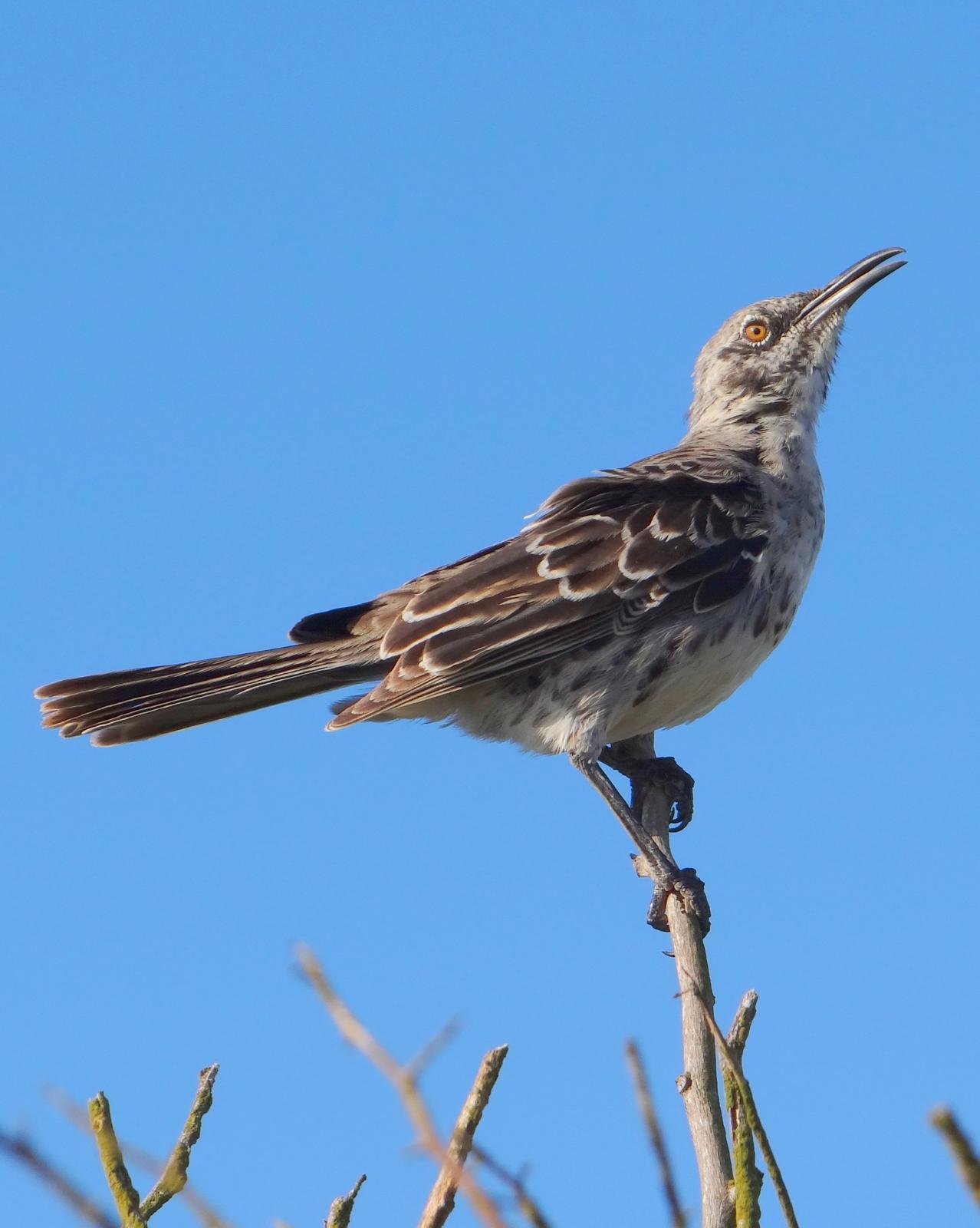 Española Mockingbird Photo by Todd A. Watkins