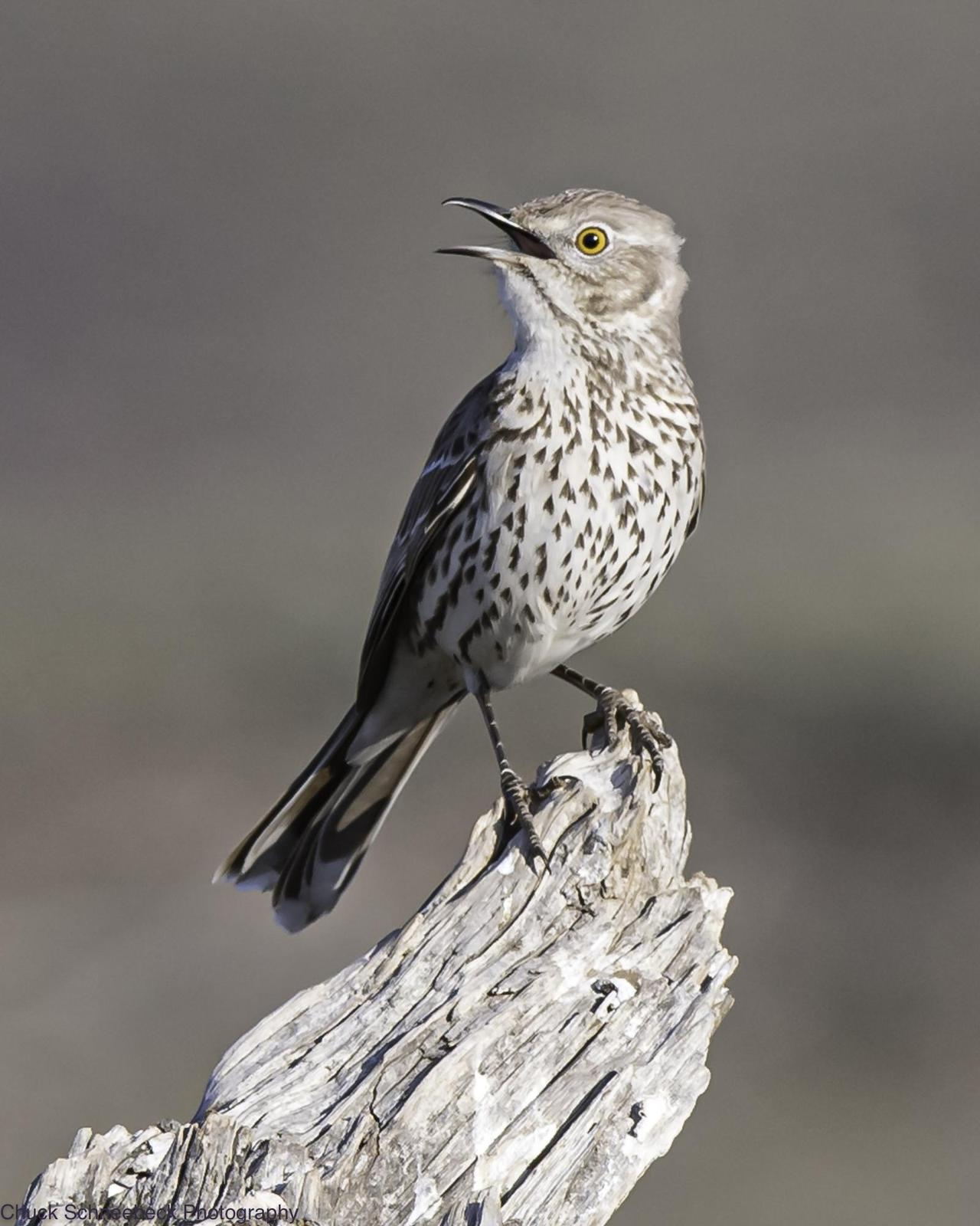 Sage Thrasher Photo by Chuck  Schneebeck