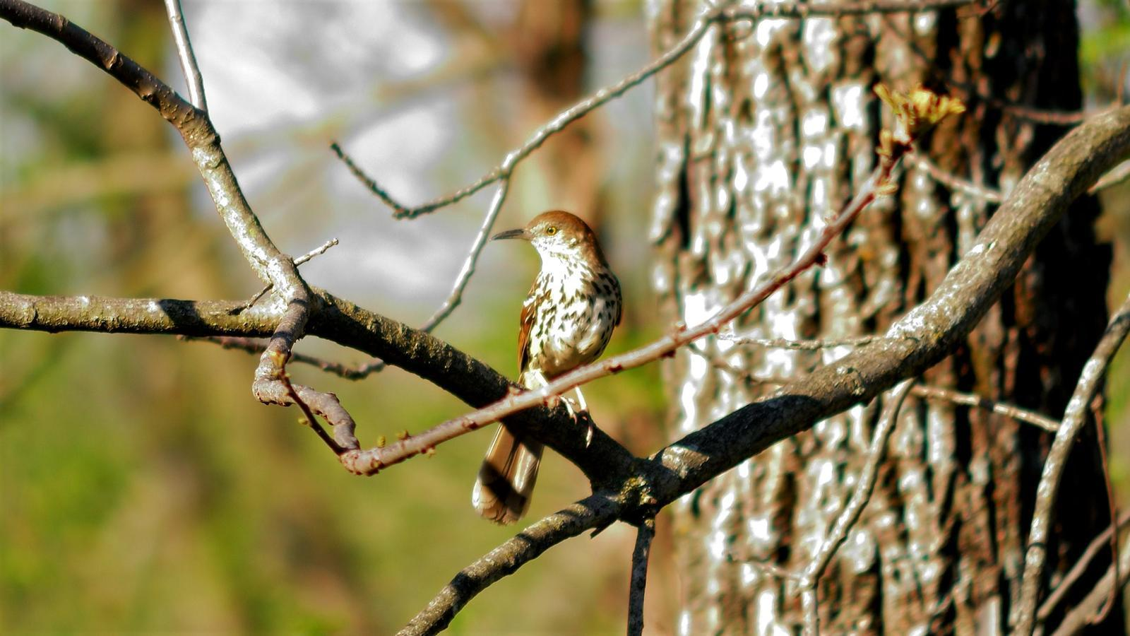 Brown Thrasher Photo by RM Beck