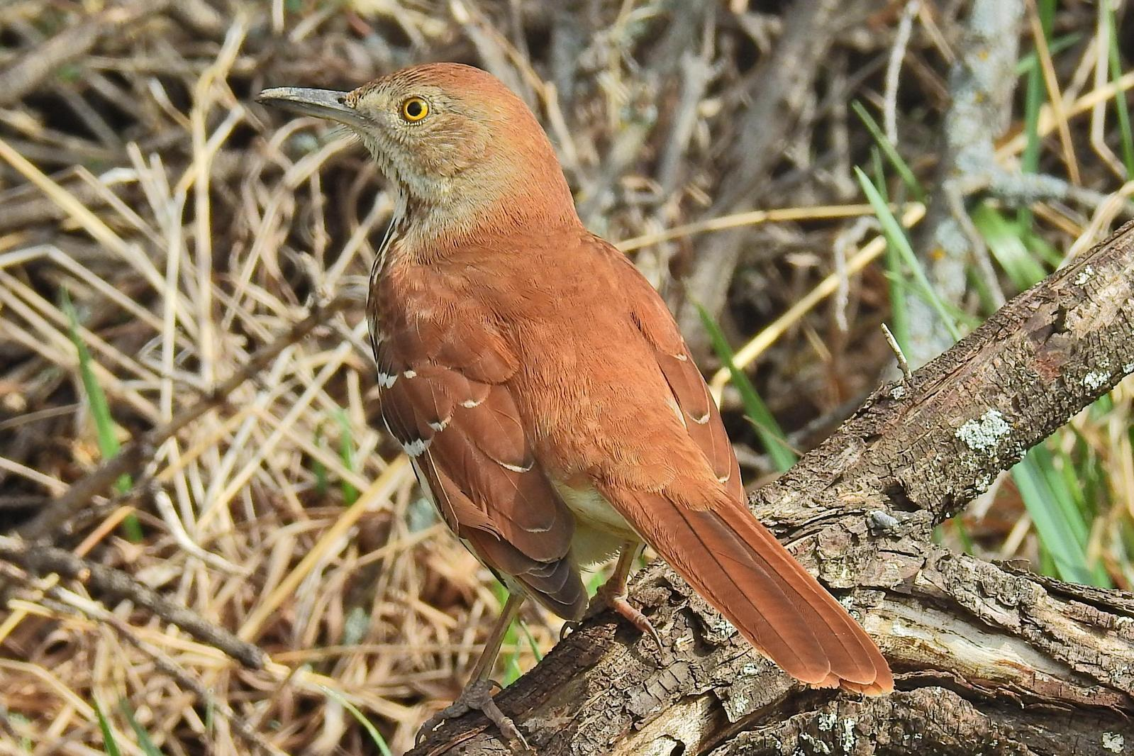 Brown Thrasher Photo by Enid Bachman