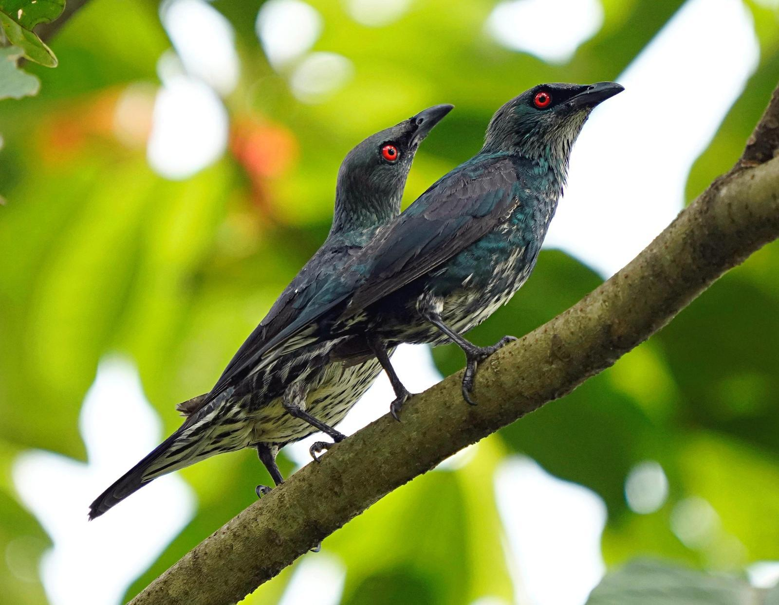 Asian Glossy Starling Photo by Steven Cheong