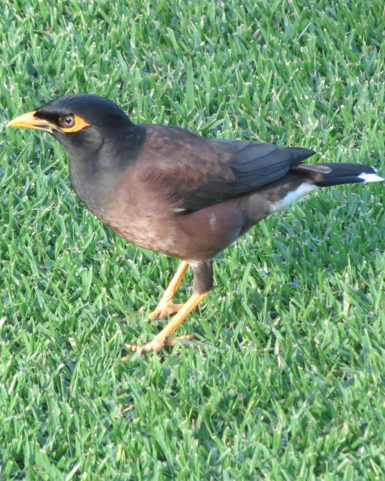 Common Myna Photo by David Bell