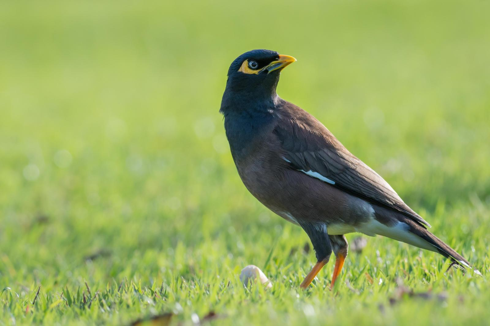 Common Myna Photo by Jesse Hodges