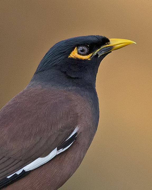 Common Myna Photo by Mat Gilfedder