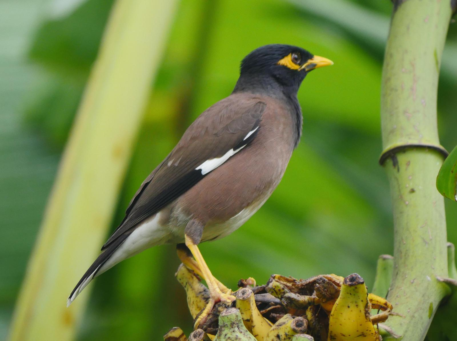 Common Myna Photo by Peter Lowe