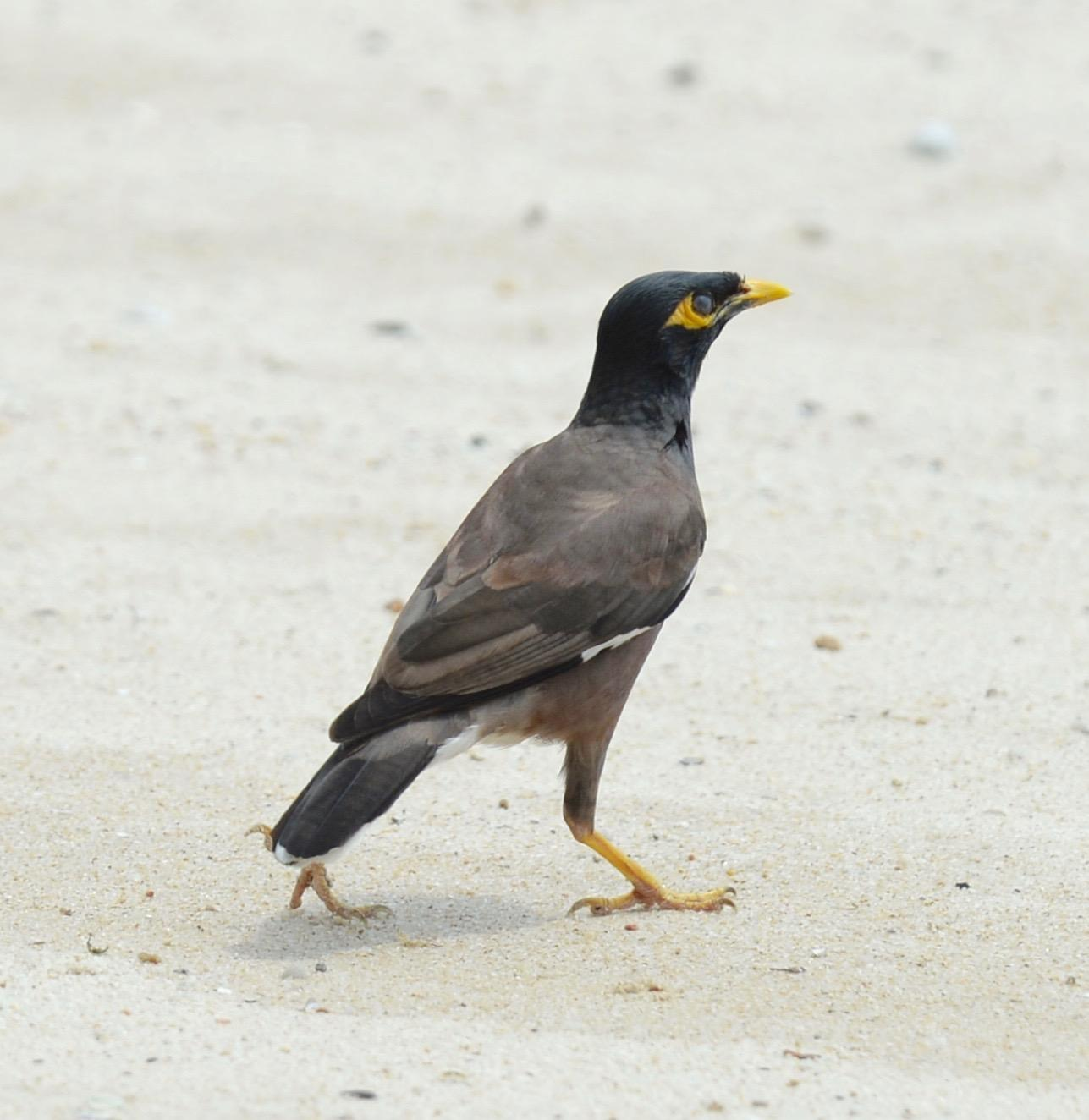 Common Myna Photo by marcel finlay