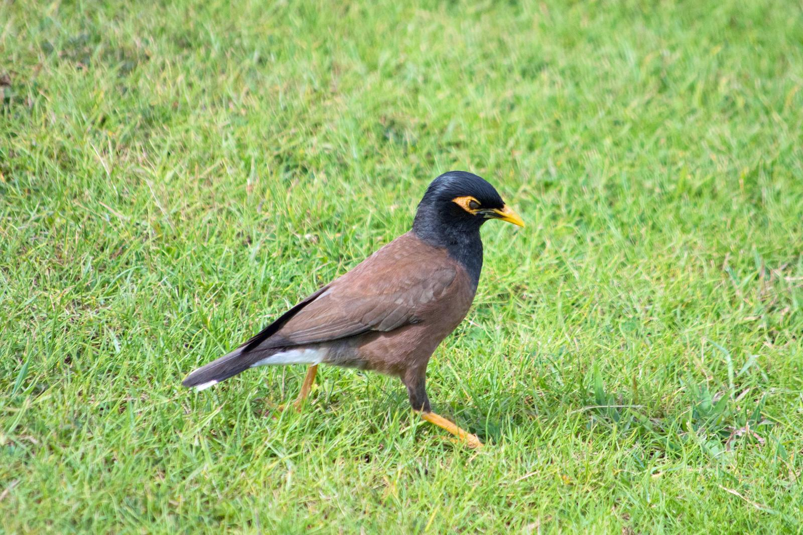 Common Myna Photo by Joseph Angstman