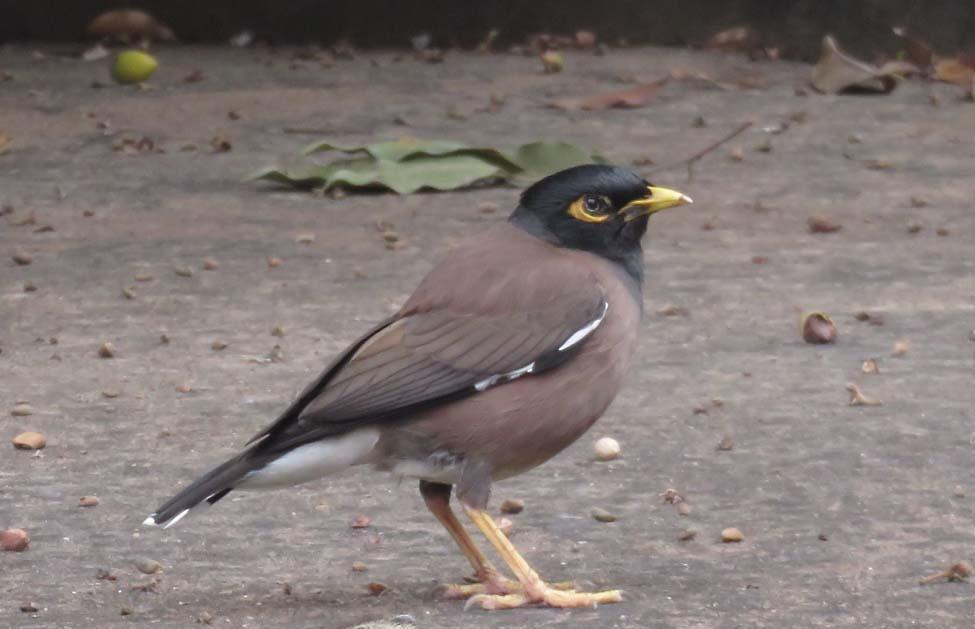 Common Myna Photo by Peter Boesman