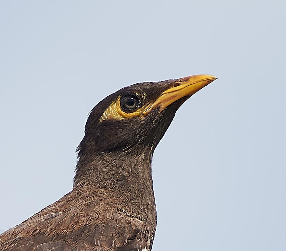 Common Myna Photo by Steven Cheong