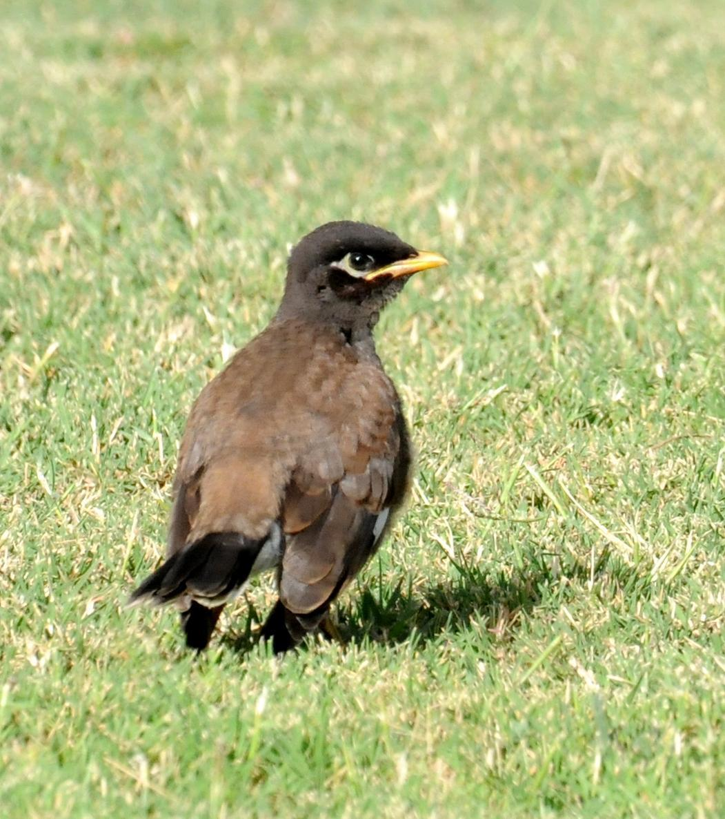 Common Myna Photo by Steven Mlodinow