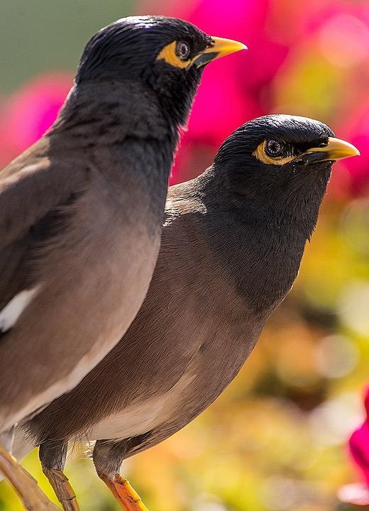 Common Myna Photo by Pete Myers