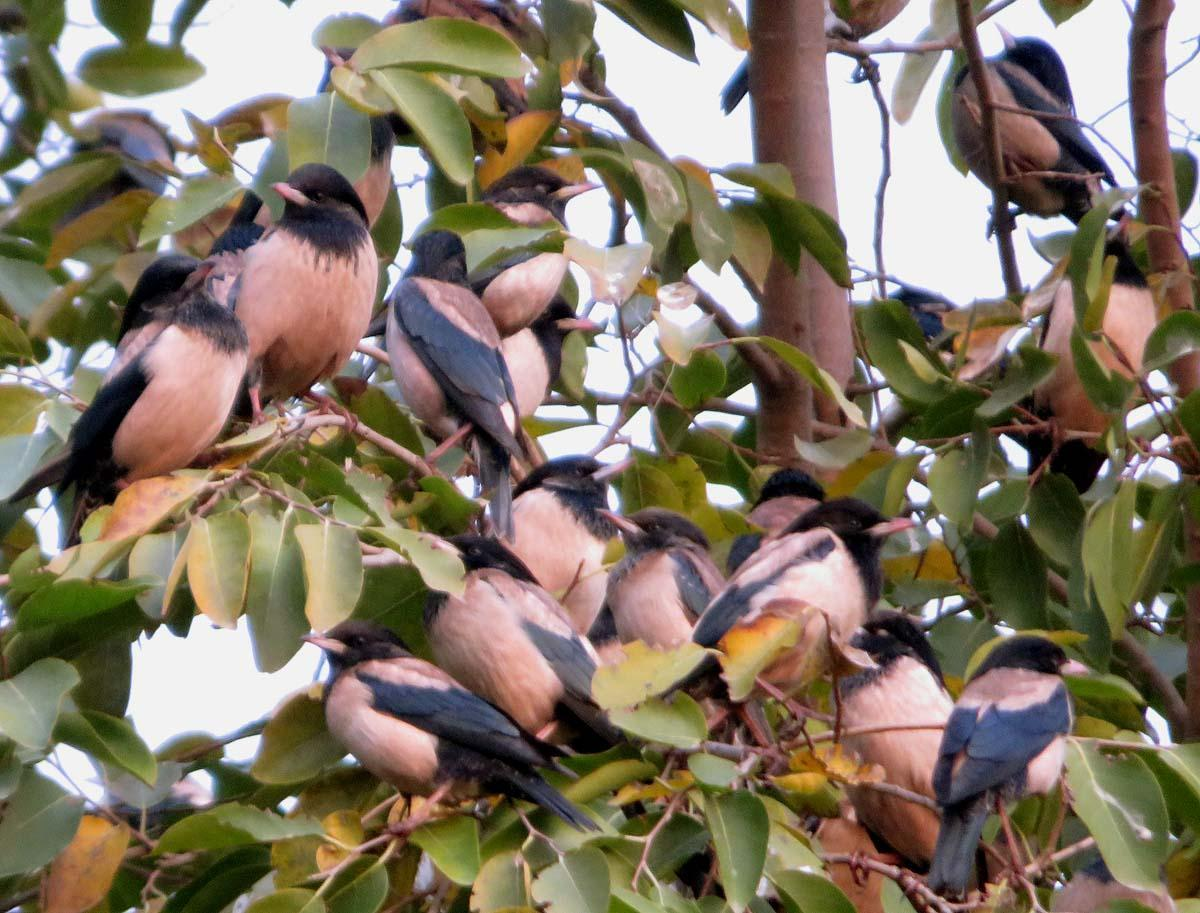 Rosy Starling Photo by Peter Boesman
