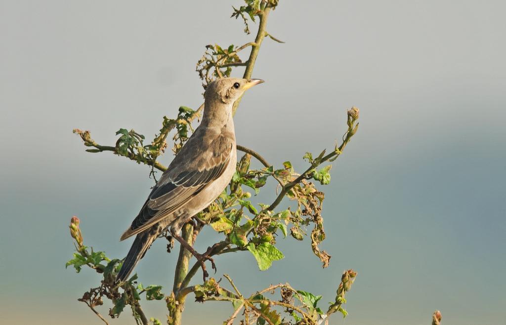 Rosy Starling Photo by Mihir Joshi
