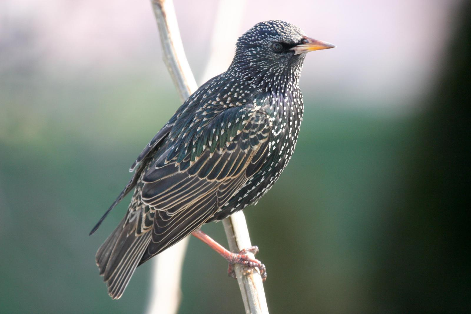 European Starling Photo by Roseanne CALECA