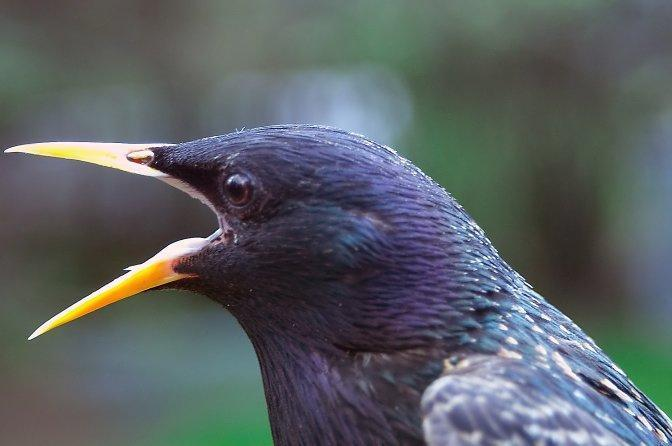 European Starling Photo by Dan Tallman