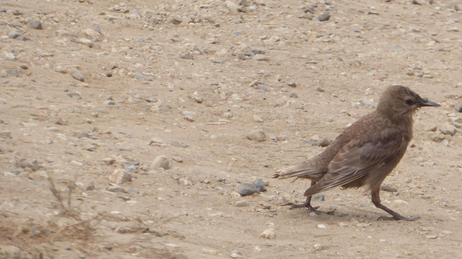 European Starling Photo by Daliel Leite