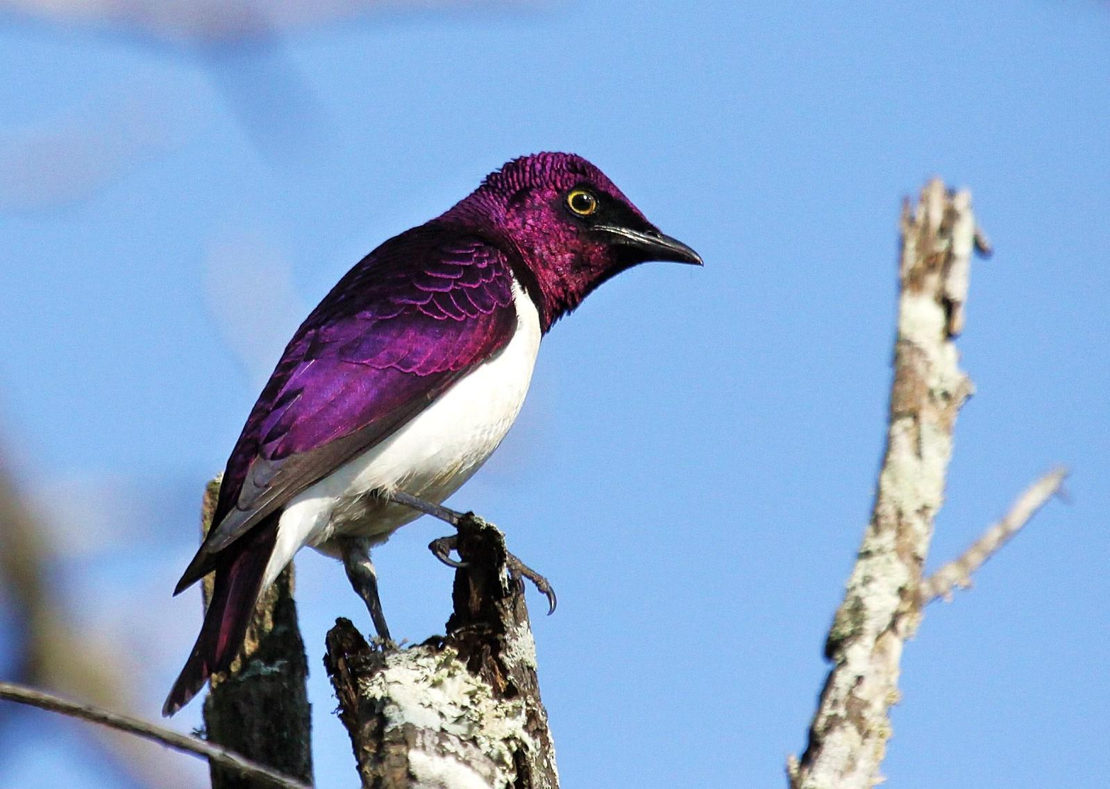Violet-backed Starling Photo by Matthew McCluskey