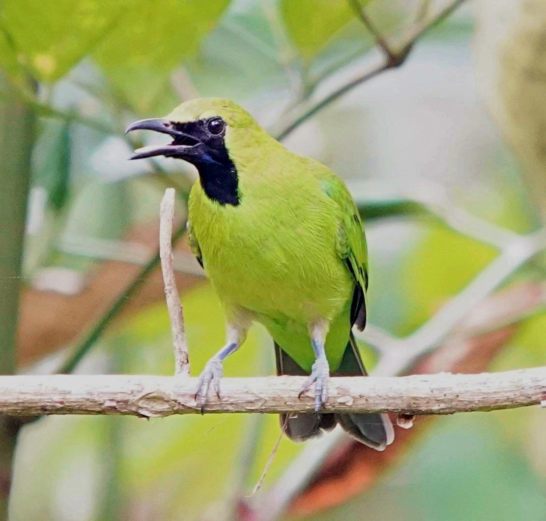 Greater Green Leafbird Photo by Steven Cheong