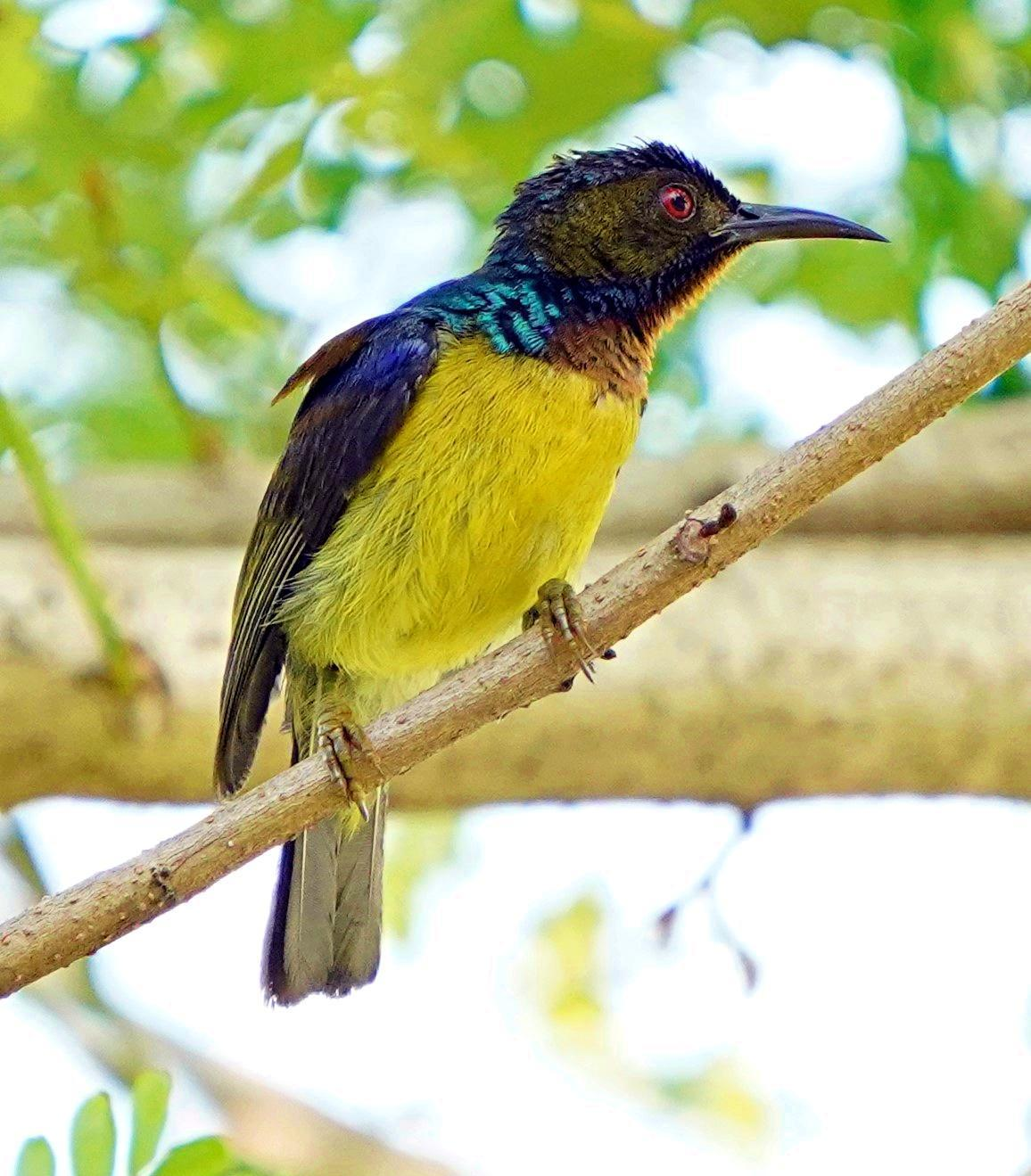 Plain-throated Sunbird Photo by Steven Cheong