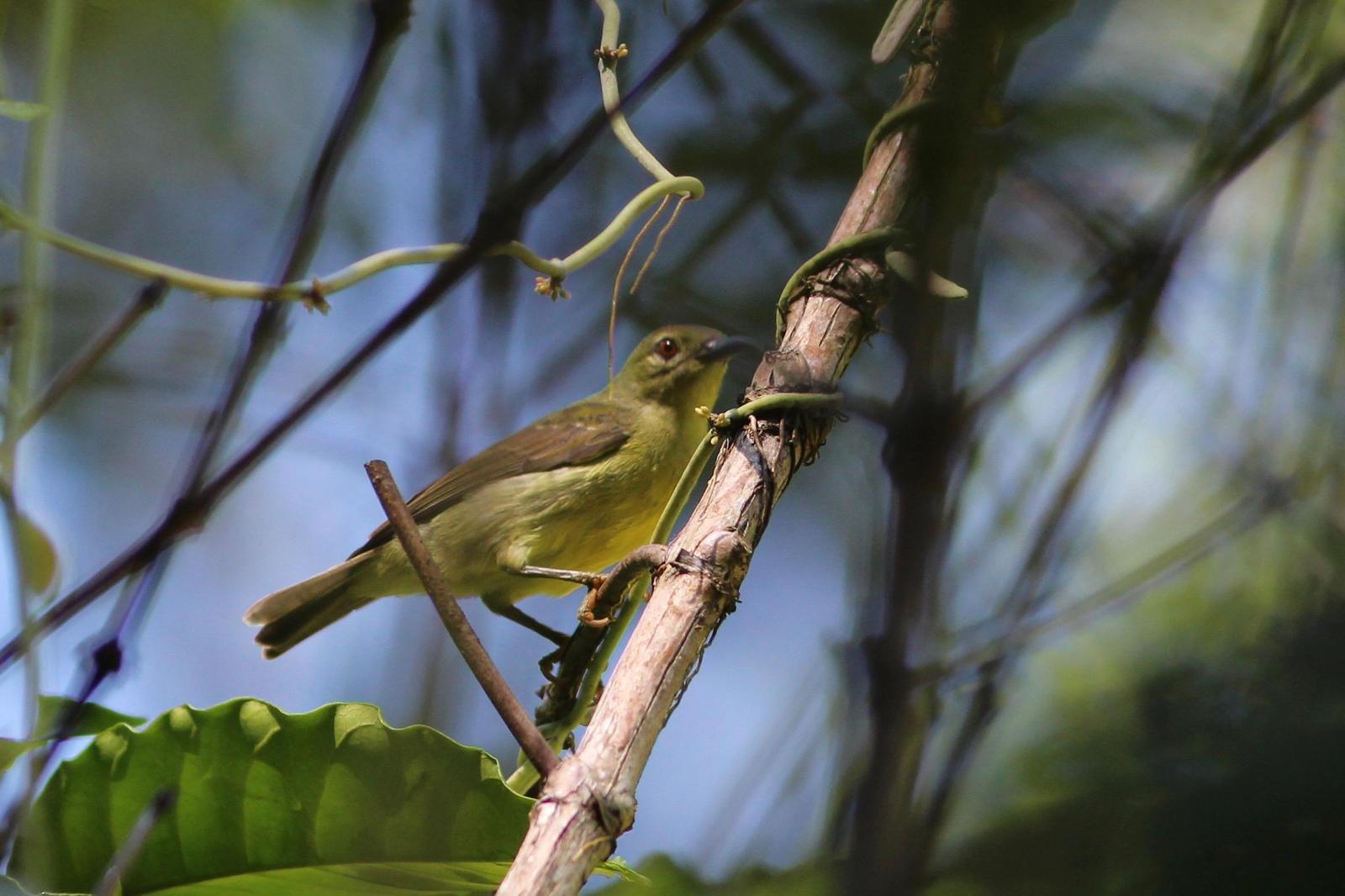 Plain-throated Sunbird Photo by Oscar Johnson