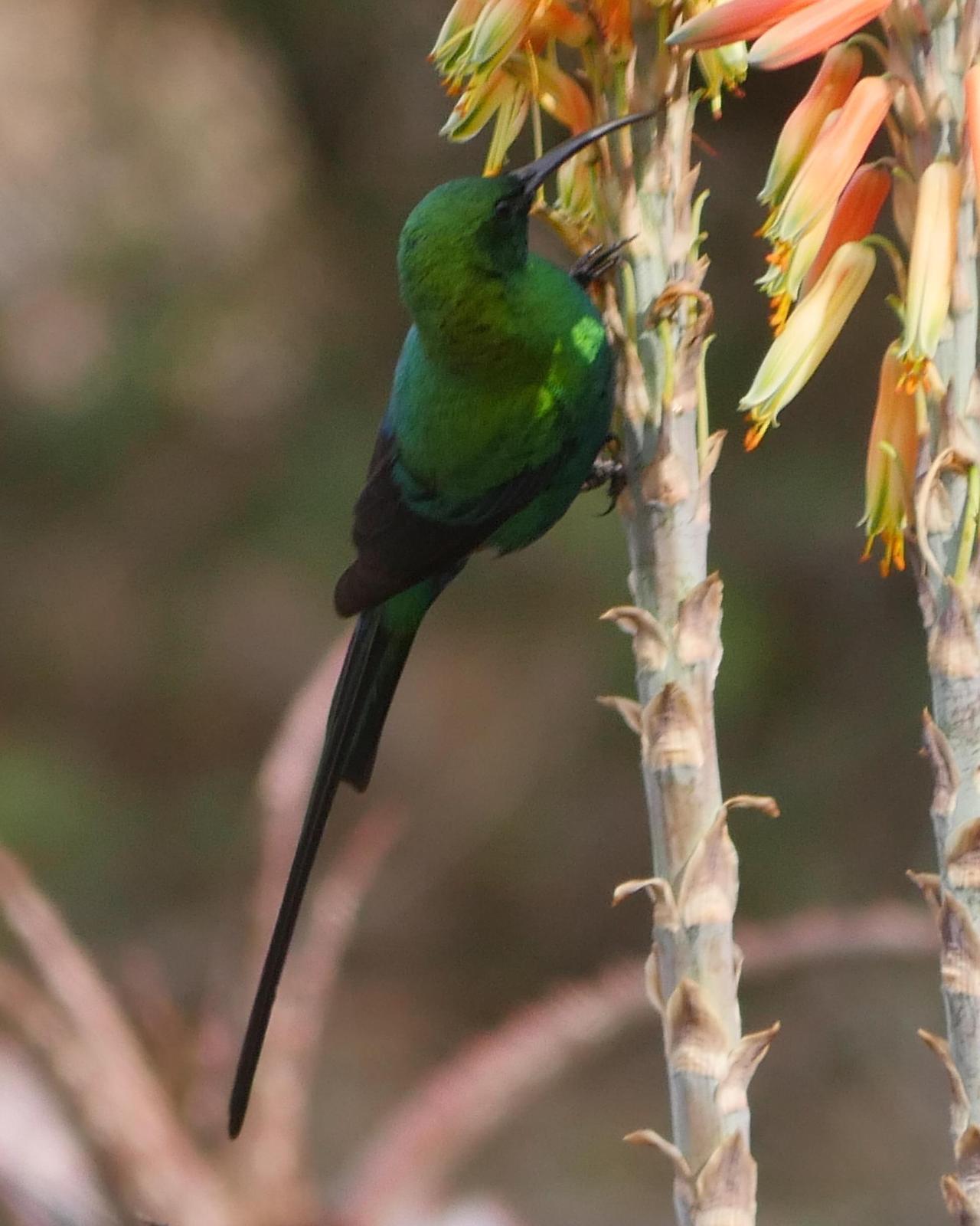 Malachite Sunbird Photo by Peter Lowe