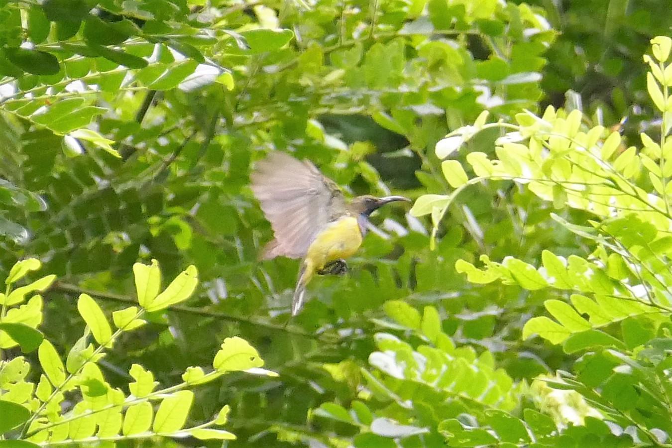 Olive-backed Sunbird Photo by Ronald Tanco