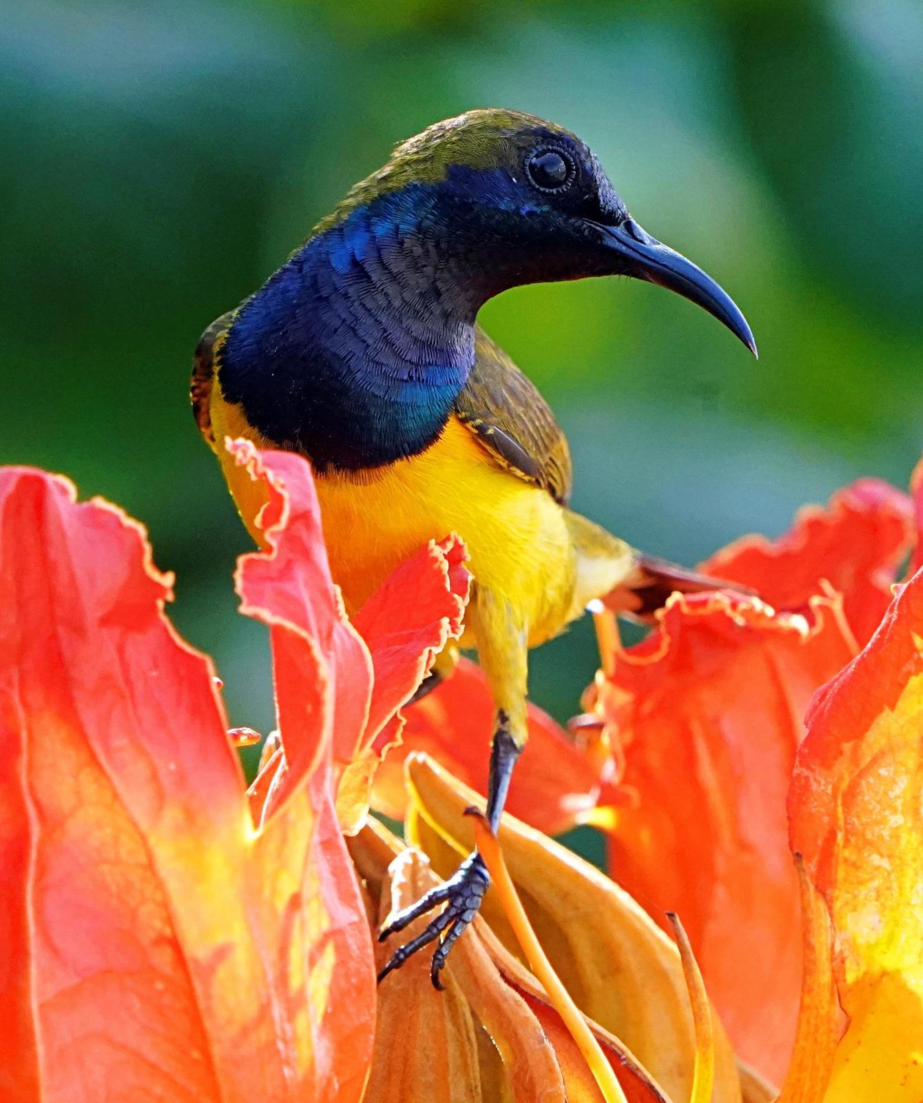 Olive-backed Sunbird Photo by Steven Cheong
