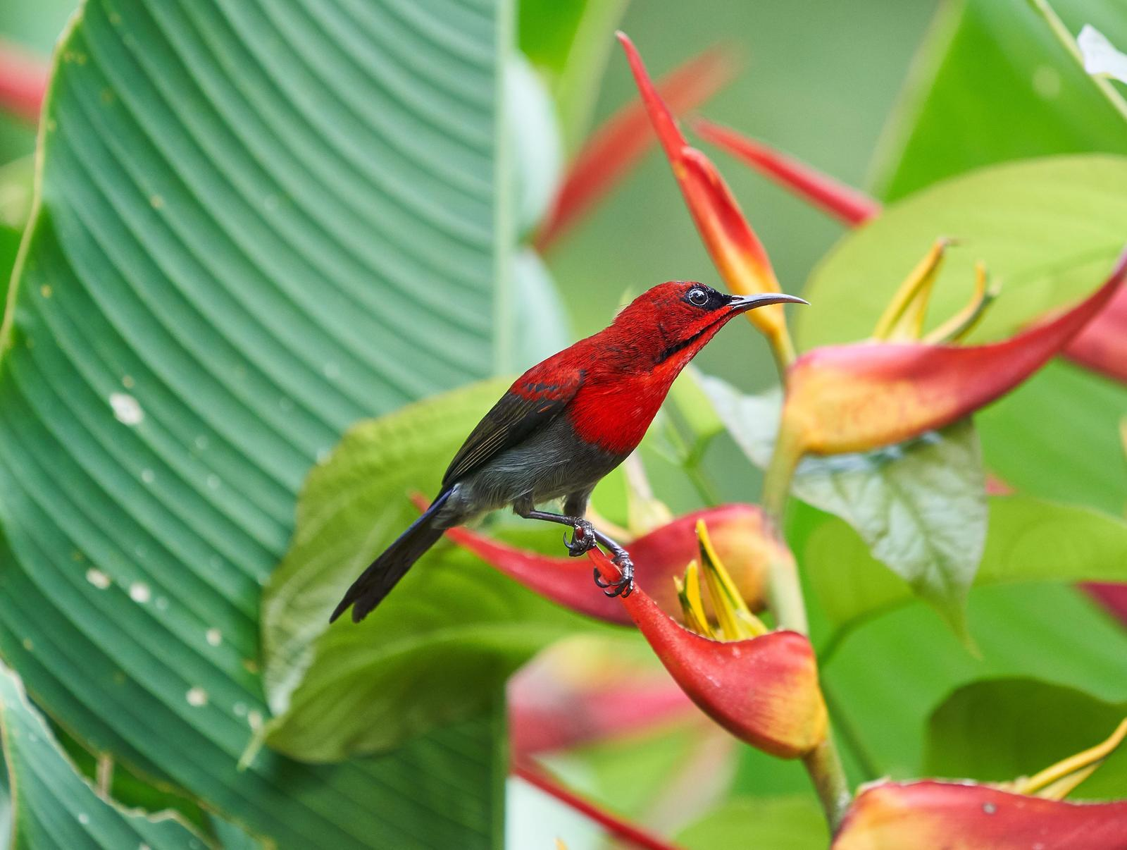 Crimson Sunbird Photo by Steven Cheong