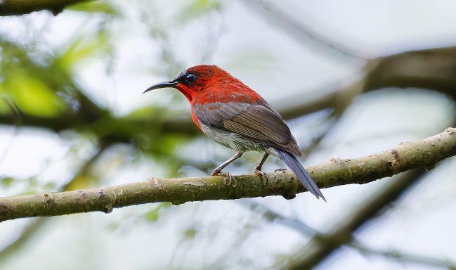 Crimson Sunbird Photo by Kenneth Cheong