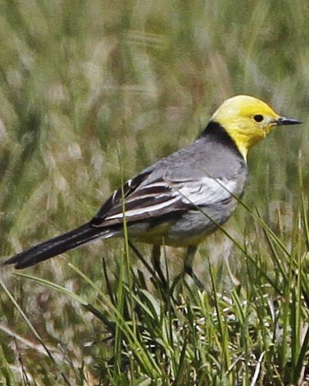 Citrine Wagtail Photo by John Oates