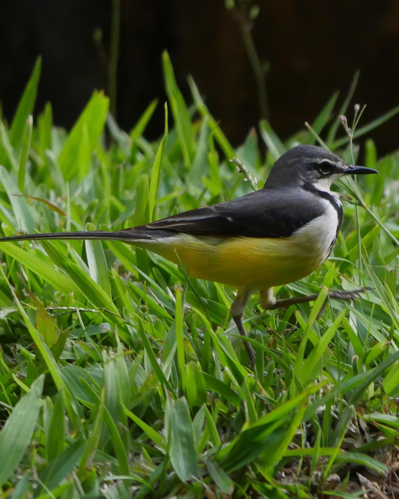 Madagascar Wagtail Photo by Peter Lowe