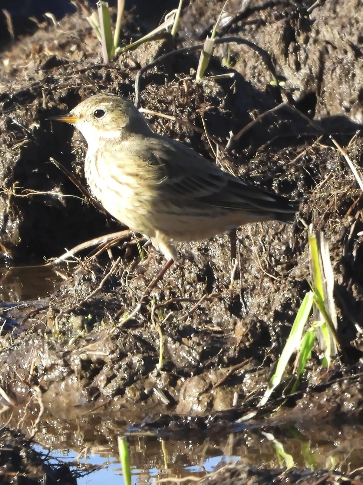 American Pipit Photo by Dan Tallman