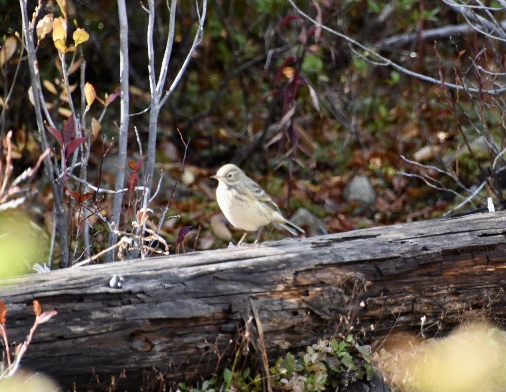American Pipit Photo by Leanne  Mentz