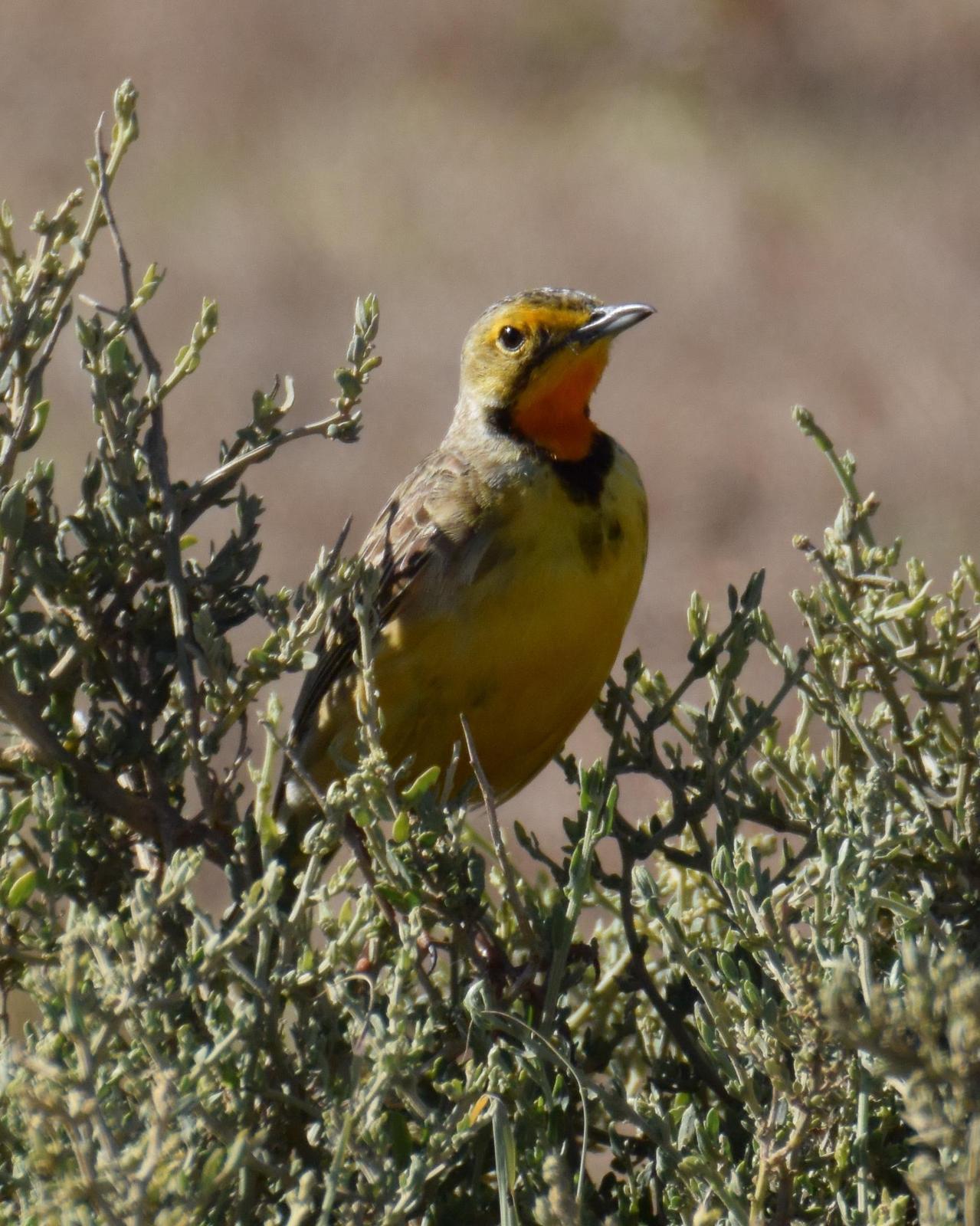 Orange-throated Longclaw Photo by Steve Percival