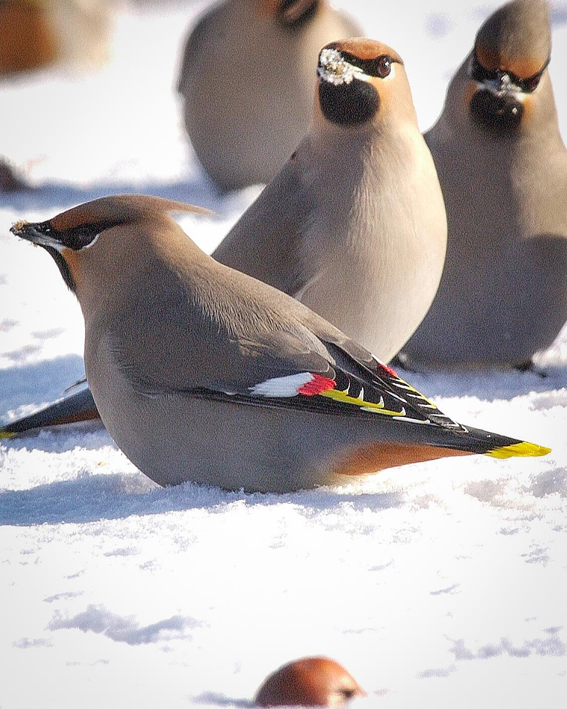 Bohemian Waxwing Photo by Arnie Simpson