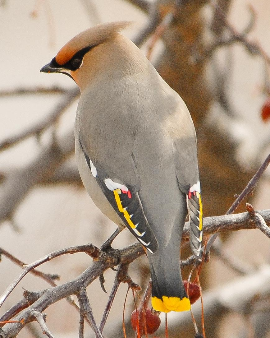 Bohemian Waxwing Photo by Mike Fish