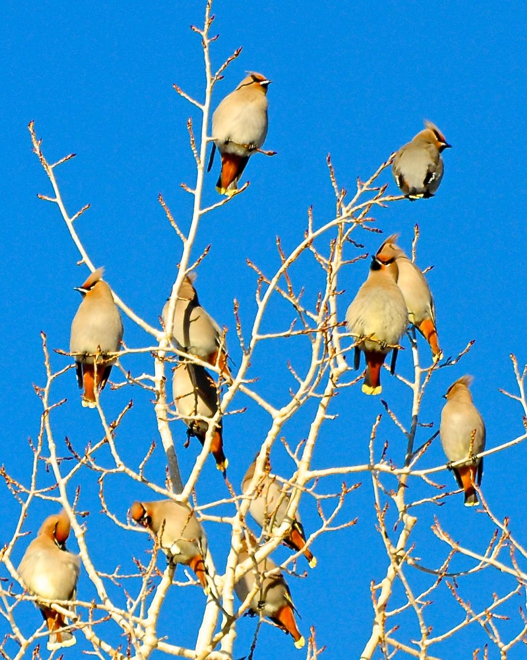 Bohemian Waxwing Photo by Gerald Friesen