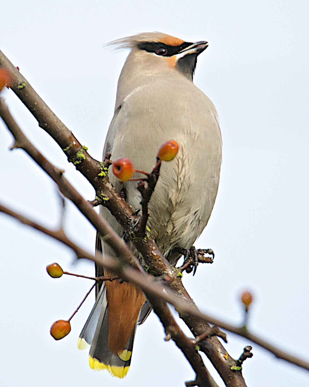 Bohemian Waxwing Photo by Brian Avent